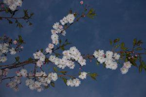 2016-05-19 Körsbärsblommor